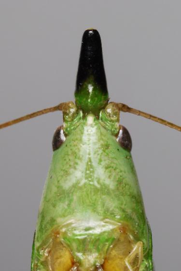 Slightly Musical Conehead - Neoconocephalus exiliscanorus - male