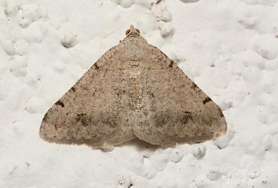 Geometer moth - Digrammia  sp. - Digrammia delectata