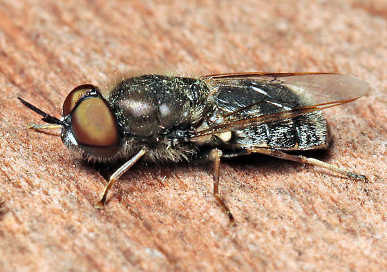 Odontomyia? - Odontomyia