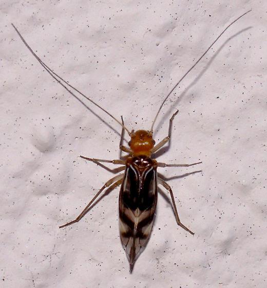 Psylloidea? - Cerastipsocus trifasciatus