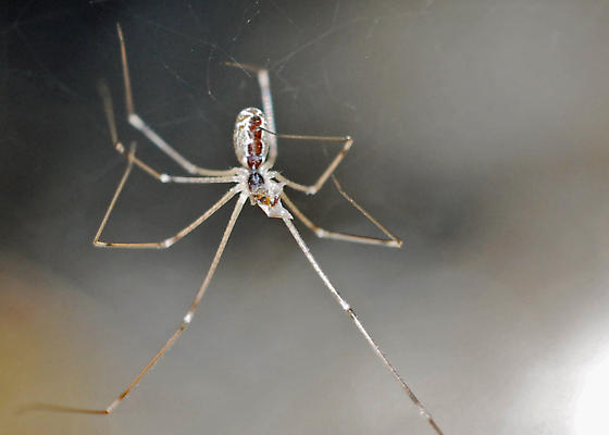 Attack of the Pseuton Spiders! Internecine Turmoil! - Holocnemus pluchei