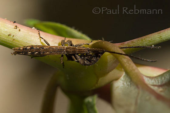 Insect on red spiderling plant - Spalacopsis