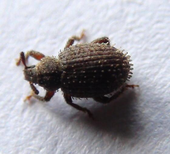 Curculionidae: Trachyphloeus aristatus? - Cathormiocerus aristatus