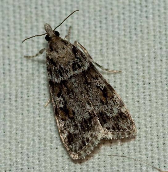 Moth - Scoparia biplagialis