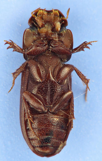 brown scarab - Ataenius gracilis