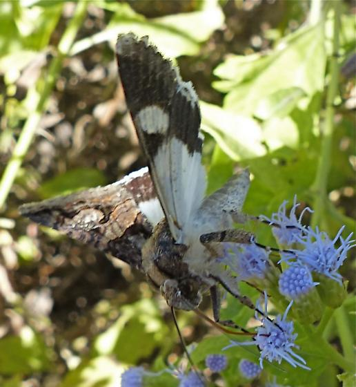 brown and white butterfly? - Melipotis famelica