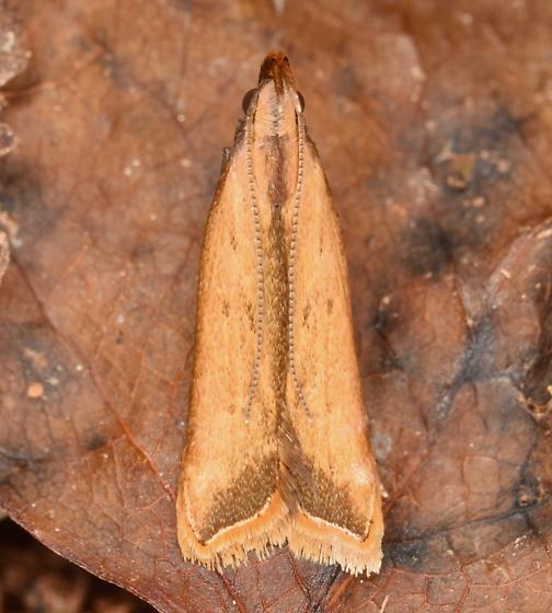 Dichomeris heriguronis - Dichomeris heriguronis