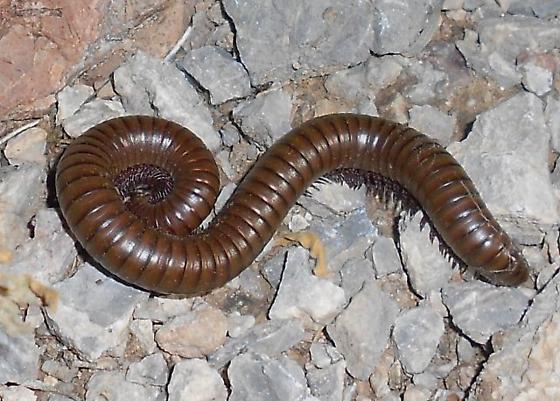 Millipede - Orthoporus ornatus
