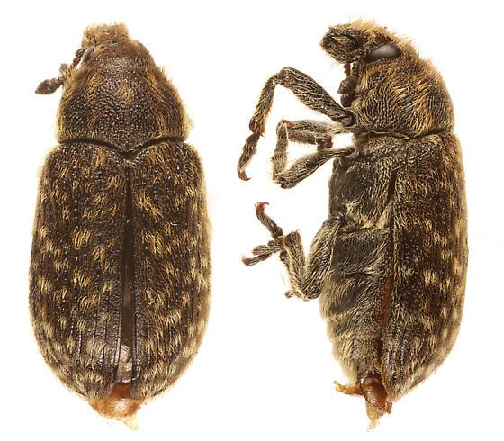 unknown weevil - Rhinocyllus conicus