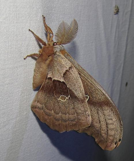 moth 3935 - Antheraea polyphemus