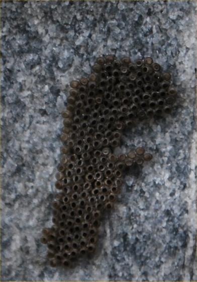 ???? - Alsophila pometaria