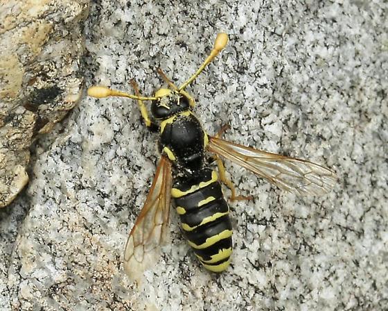 Pseudomasaris - Pseudomasaris vespoides