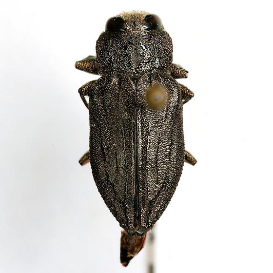 Chrysobothris comanche Wellso & Manley - Chrysobothris comanche