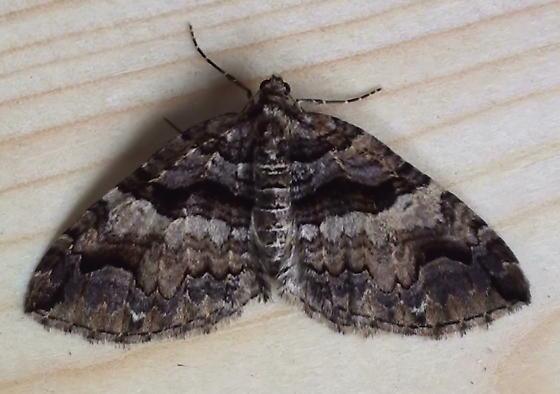 Geometridae: Anticlea vasiliata? - Anticlea vasiliata