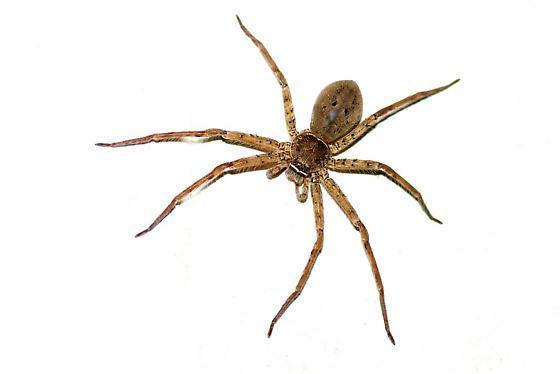Large Desctructor Spider - Heteropoda venatoria