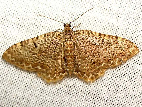 Rheumaptera prunivorata  - Rheumaptera prunivorata