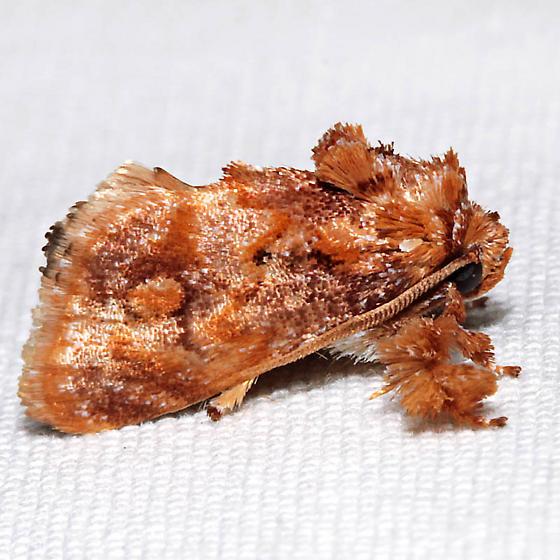 Isochaetes beutenmuelleri - male