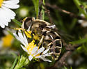 White-lined hover fly - Eristalis dimidiata