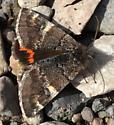 Moth - Archiearis infans