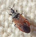 Melanocoris? - Melanocoris nigricornis