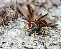 Spider Wasp - Poecilopompilus interruptus - female