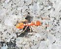 ant - Temnothorax curvispinosus