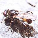 Syrphid fly on rock in woodland stream - Chalcosyrphus nemorum