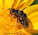 Mating Bees - Pseudopanurgus albitarsis - male - female