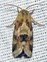 Schinia obscurata - Schinia obscurata