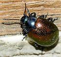 Chrysolina auripennis