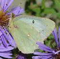 Colias - Colias philodice - female