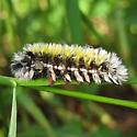 Colorful tufted caterpillar - Ctenucha virginica