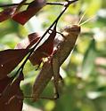 unid Grasshopper, maybe Melanoplus - Schistocerca damnifica - female