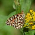 Speyeria species? - Speyeria