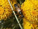 Another beetle for identification. - Xestoleptura crassipes