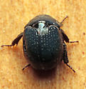 Beetle - Germarostes