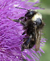unknown Bumble Bee - Bombus
