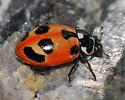 Parenthesis Lady Beetle at home - Hippodamia parenthesis
