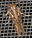 Maybe a Dart? - Acrolophus popeanella