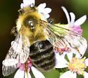Bumble bee? - Bombus impatiens
