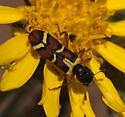 Flower Beetle - Trichodes peninsularis