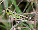 Admirable Grasshopper  - Syrbula admirabilis - female
