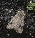 Eucoptocnemis fimbriaris - female
