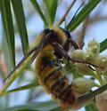 Fuzzy Bumblebee? - Bombus pensylvanicus