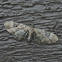 eupithecia sp. maybe - Eupithecia stellata