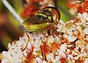 Which soldier fly? Hedriodiscus binotatus? - Hedriodiscus binotatus - male
