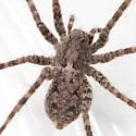 Brown Furry Spider - Pardosa xerampelina