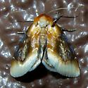 Chrysoecia scira