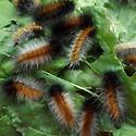Virginian Tiger Moth (Spilosoma virginica) - Spilosoma virginica