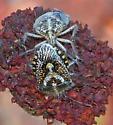 African Cluster Bug - Agonoscelis puberula